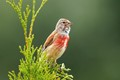 common male linnet