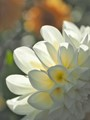 Shades-on-white-flower