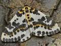 Spotty Moth.