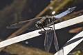 Male Scarce Chaser (Libella Fulvia)