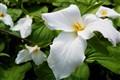 Trillium the official flower of Ontario
