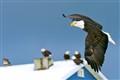 eagles_1559