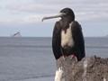 Fregata magnificens --- isla san cristobal...