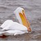 Pelican with Fish 2