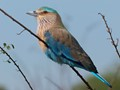The Blue Jay 9Indian Roller)