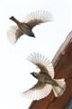 Sparrows in Flight