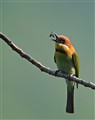 Chestnut Headed Bee Eater.