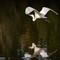 White Heron 5