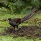 Superb Lyre bird (1)