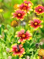 Indian Blanket - Gallardia