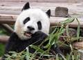 Taste - Bamboo Chew