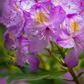 West Verginia Rhododendron maximum