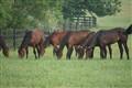 Grazing Racehorses
