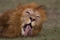 lion-729