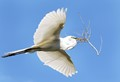 Great-White-Heron