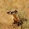 Badger_4 (Profile)