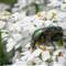 rosebug