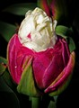 "Tulip ""Ice cream"""