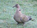 Collared Dove Frosty Morning