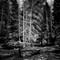 YellowstoneTreeLR