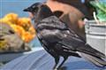 Resident Raven