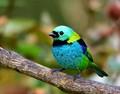 saíra sete cores (Tangara seledon) - Green-headed Tanager