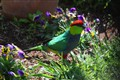 King Parrot and Pansies.