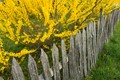 fence with forsythia