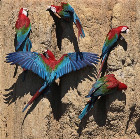 Red and Green Macaws close up on lick one with wings spread