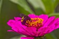 bumble bee pollinating flowers