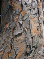 Leopard Tree Bark
