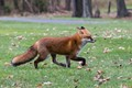 Red Fox in a trot