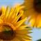 Sonnenblume-2