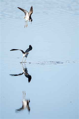 Lesser Yellowlegs doing Battle (Tringa flavipes)