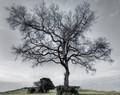 Plantation Tree