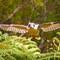 Kookaburra spreads its wing