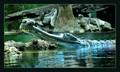 sleeping alligator dpreview