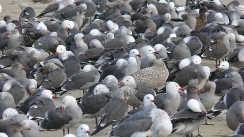 Colony of Heerman's Gulls