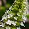 Fumewort Corydalis_'Blackberry Wine'_AJG_02