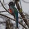 403Blue-crownTrogon
