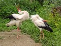 Storks in love... (ciconia ciconia)