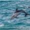 Dolphin jumps for joy_1195