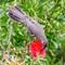 Austrailan Wattle Bird