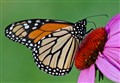 Monarch Butterfly, male - Danaus plexippus