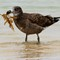 Pacific Gull juv. 02