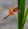 Red Dragon Fly & It's Shadow