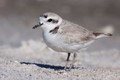 Snowy Plover on a white sand beach