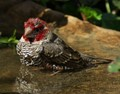 Bathing Red-headed finch