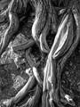 Roots B-W