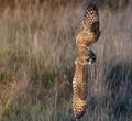 Short Eared Owl_0151